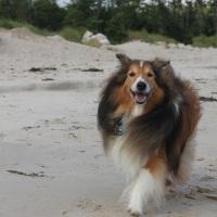 Dogs 101: Shetland Sheepdog