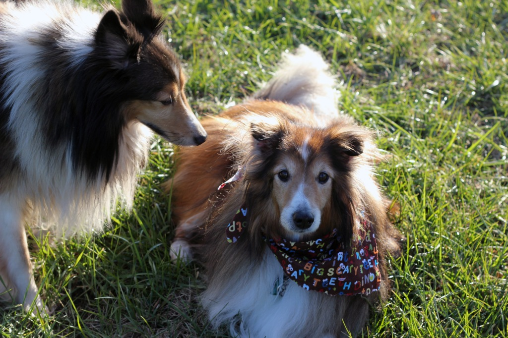 Shelties and more shelties!