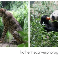 Cheetahs and Pandas