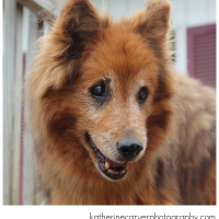 Sheltie Haven Sheltie Rescue, Inc. — Part IV – Rescue dogs in need of furever homes